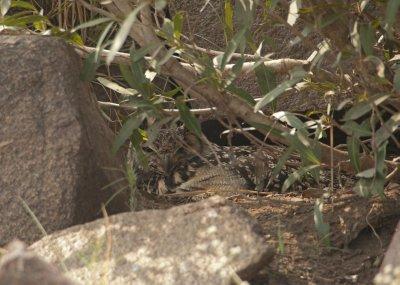 Eurasion Eagle Owl on its nest