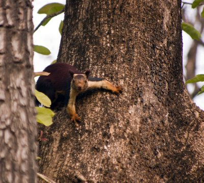 Giant Malabar or Indian Squirrel