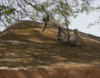 Young langurs at play
