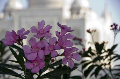 Taj in Pink