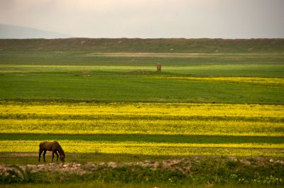 Mustard fields, horse and the odd ruin to add interest... fields in Kars