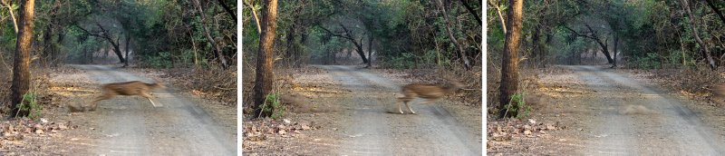 Chital speeding across the road