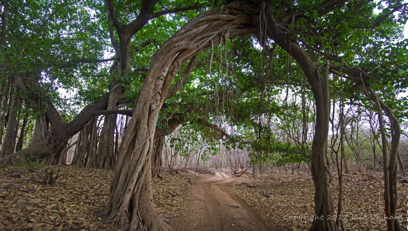 Incredible forest at Ranthambore