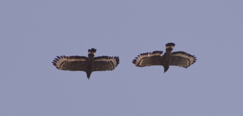 Serpent Eagles in mating flight.