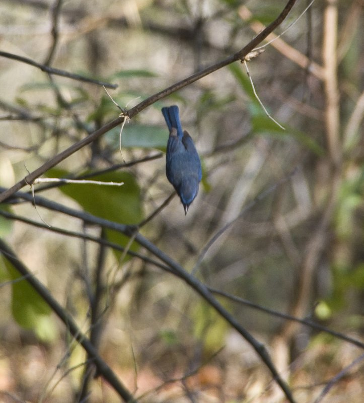 Tickell&#39;s Blue Flycatcher