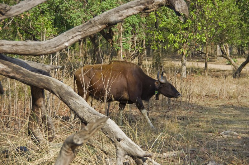 The gaurs back in Bandhavgarh forest