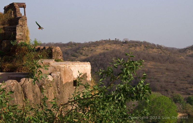 Peacock diving off the fort wall in Ranthambhor
