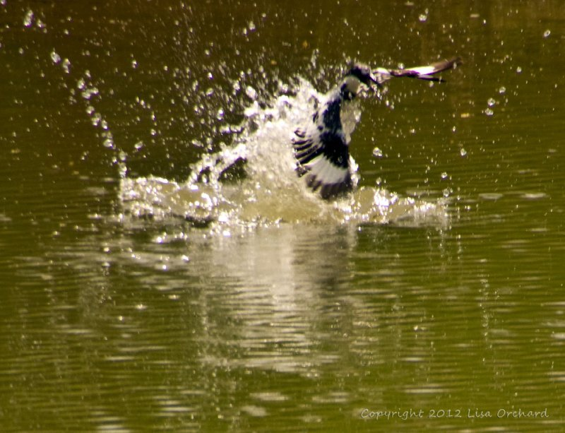 Pied Kingfisher. Missed the fish!