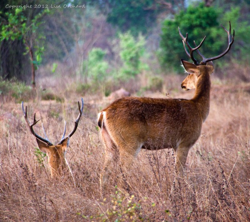 Quintessential Kanha!  Beautiful Barasingha at dawn