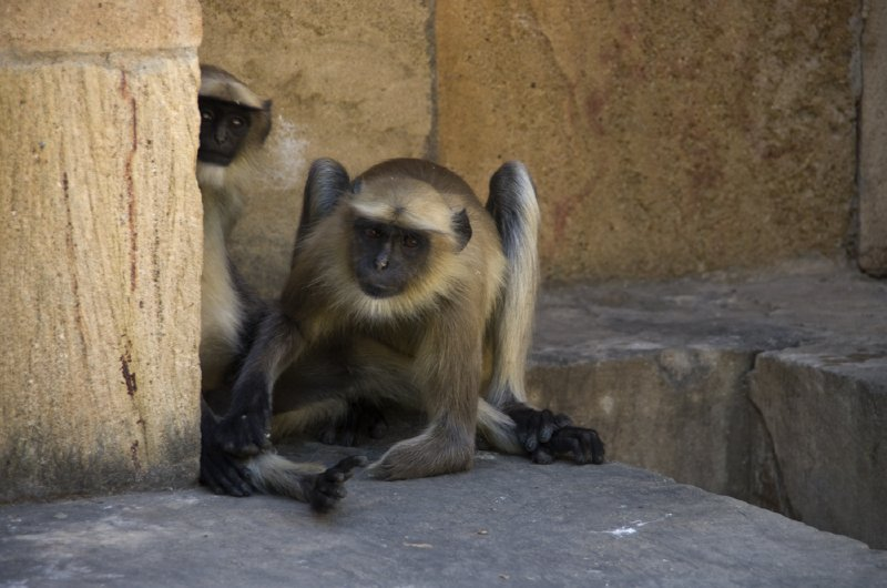 Handless Langur at step well