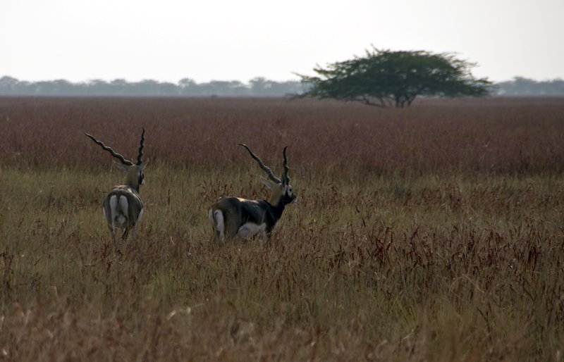 7Blackbuck8