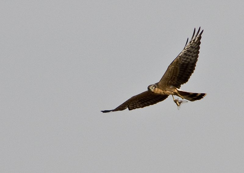 Pallid Harrier carrying a huge bug for dinner.  Consensus says... dragonfly?