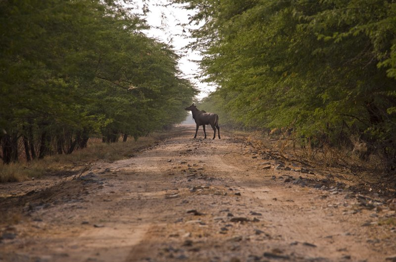 Loads of Nilgai in the park