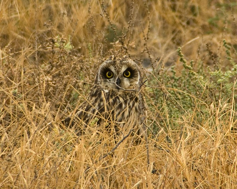 Tammy Faye move on over!  Beautiful short-eared owl, one of about eight we came across nesting on the ground in the early morning.