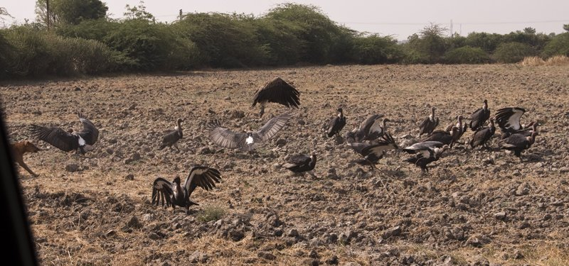 At least 20, very endangered white-backed vultures, chased away from a cow carcass by the hungry village dogs!