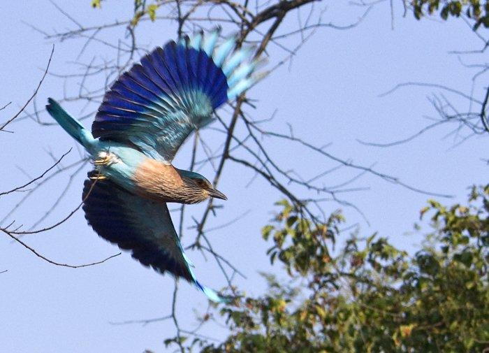 Indian Roller flies by