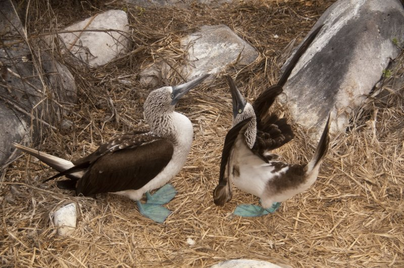 Blue-footed Boobie mating dance