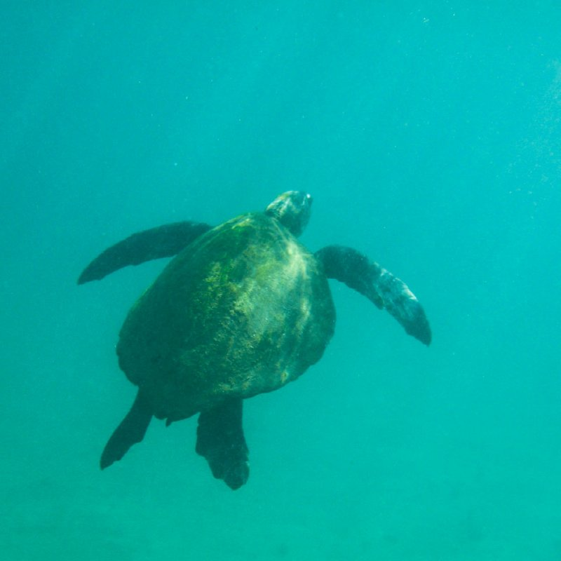 Galapagos Marine Sea Turtle