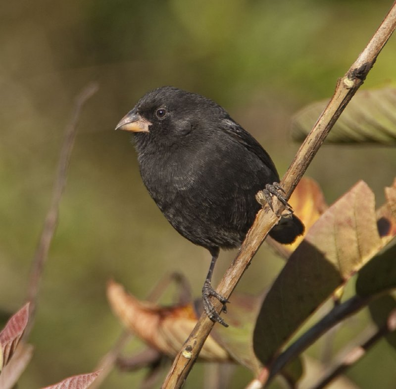 Small Ground Finch, Darwin Finch