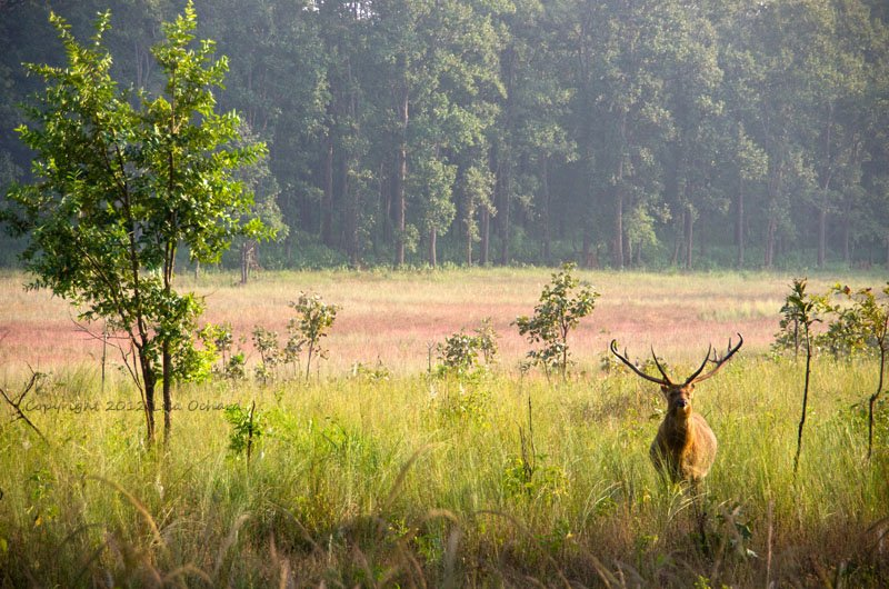 Barasingha in a field of colour