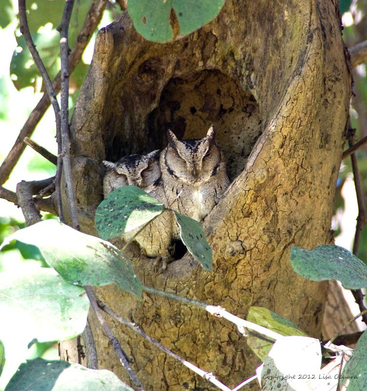 Oriental Scops Owls, resting for the day