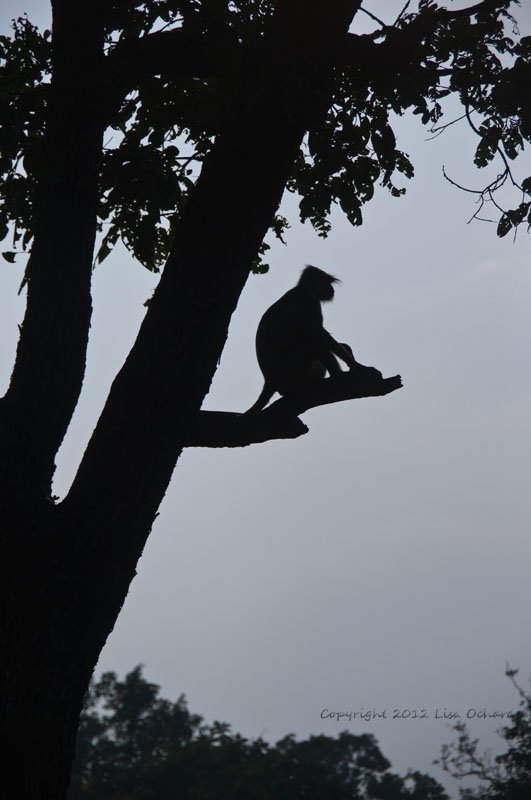 Hanuman Langur waiting for nightfall.