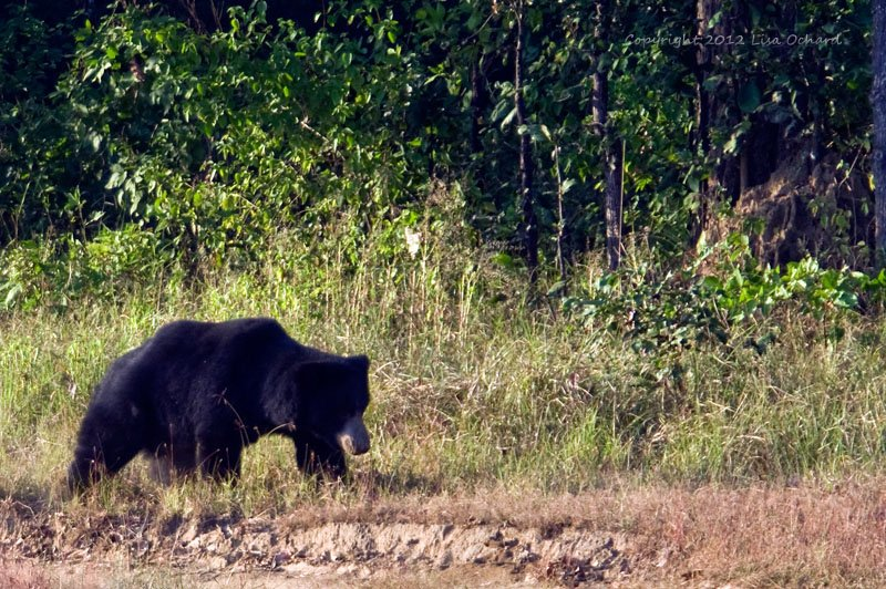 1 of 3 sloth bears we were lucky enough to see in Kanha this trip.