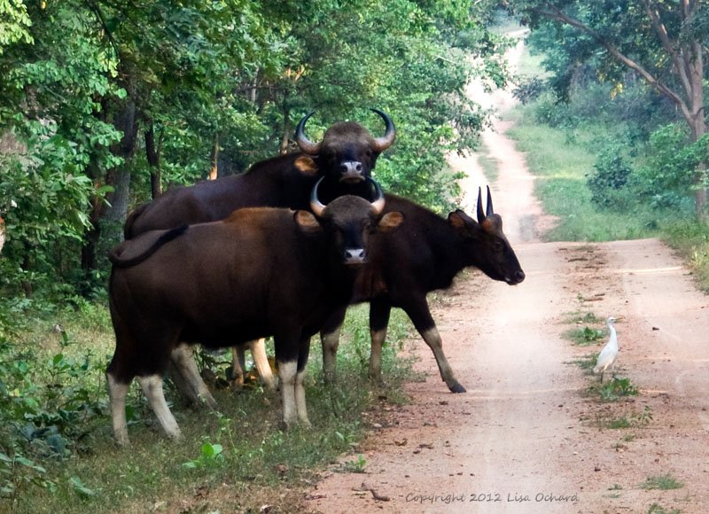 Huge heard of gaur making their way through the forest.