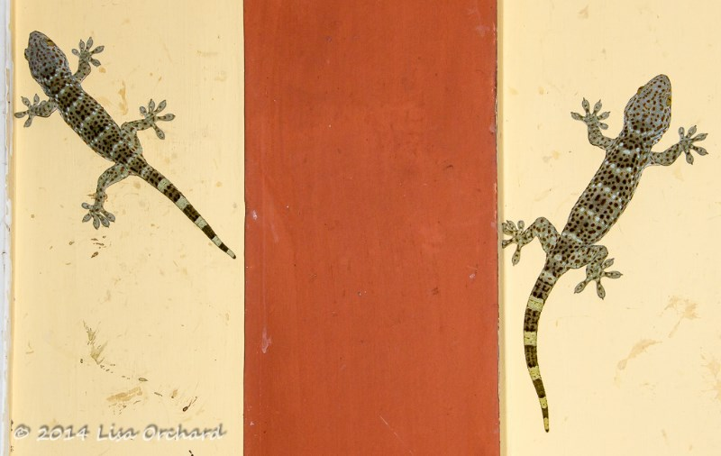 The large and wonderfully noisy Tokay Gecko living behind a sign on our resthouse.