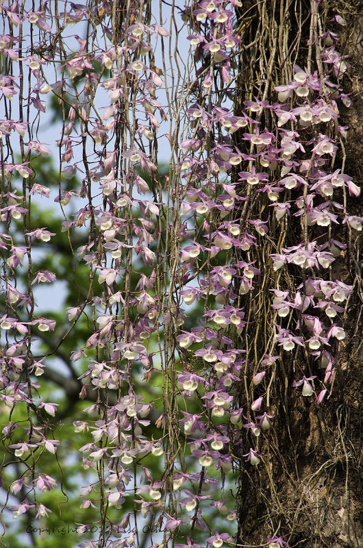 A waterfall of orchids hanging from the trees in mid-March.