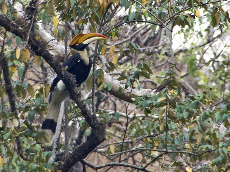 Great Indian Hornbill. These massive birds made an awesome sound when they flew, their wings displacing so much air.