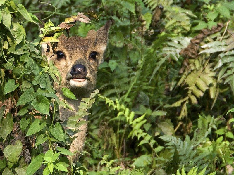 Peek-a-boo with a Hog Deer