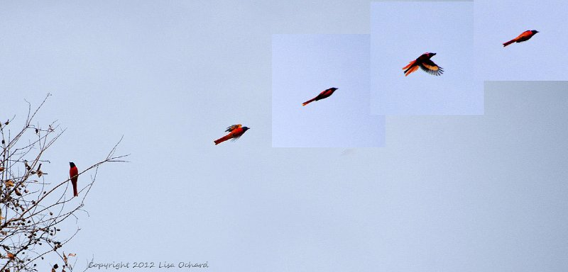 Scarlet Minivet... going, going, gone!