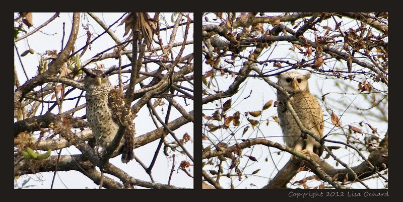 Jeuvenile (right) and adult spot-bellied eagle owls (or are they...). Very far off in the trees.