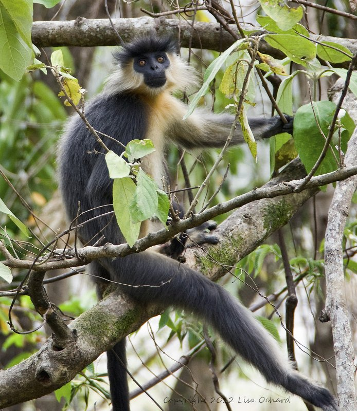 The Capped Langur