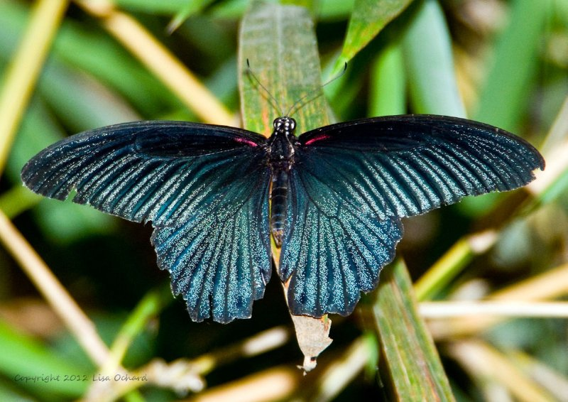 Massive Agenor Mormon male butterfly posing nicely at our camp!