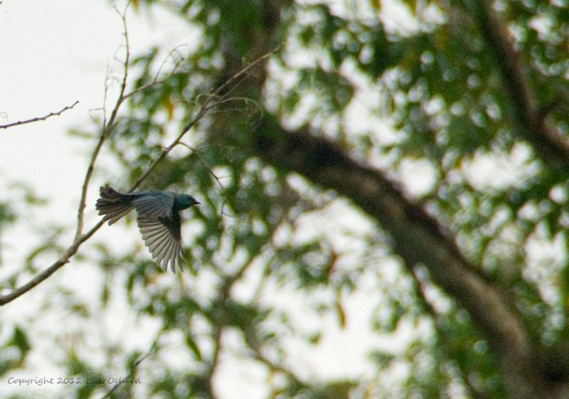 Verditer Flycatcher on wing.