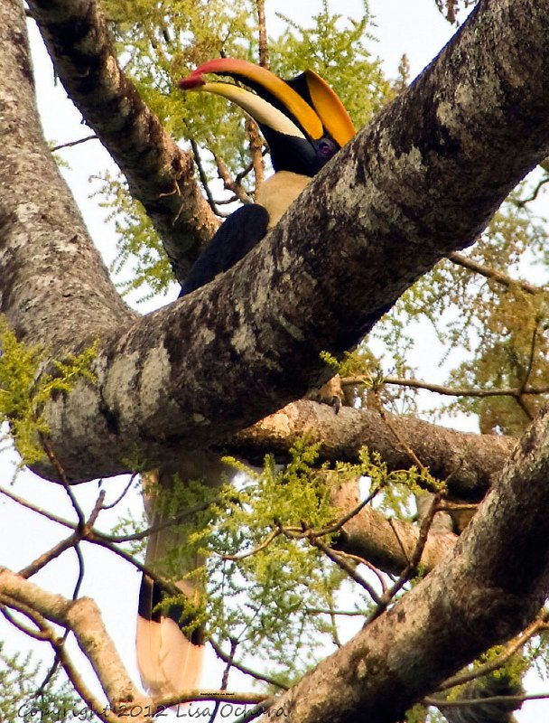Fabulous male Great Indian Hornbill, part of a nesting pair in a large tree at the Eco Camp. The female seals herself into a nest that is hollowed out of a tree until her chicks are ready to leave. The male makes trips back to feed her through the small hole left open.