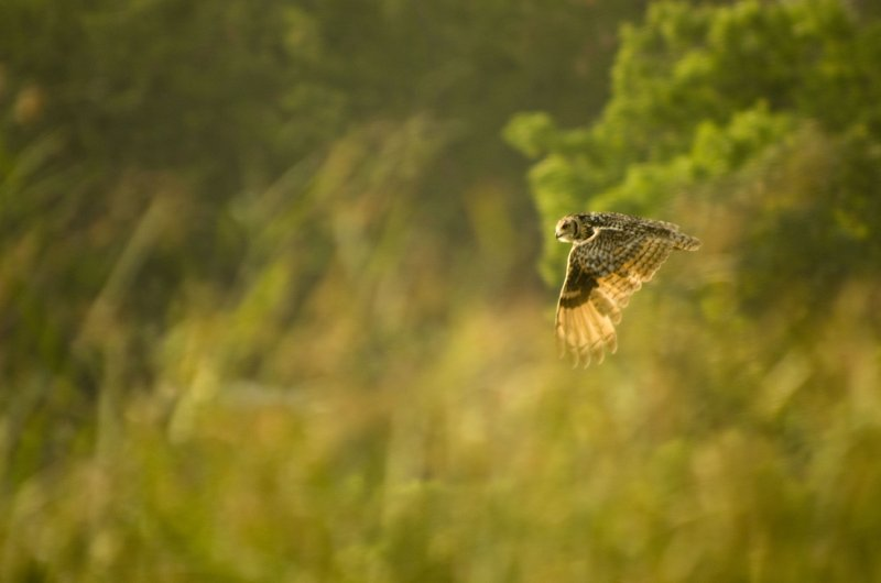 Eurasion Eagle Owl on the Ken River