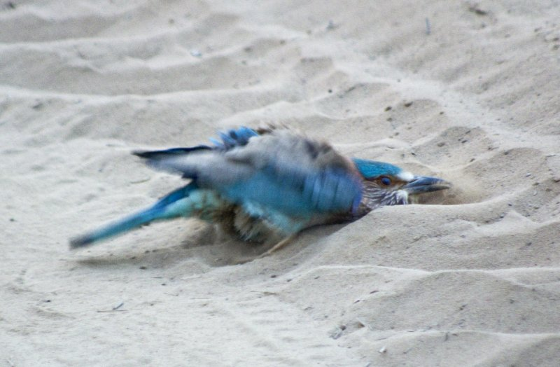 Indian Roller taking a dust bath