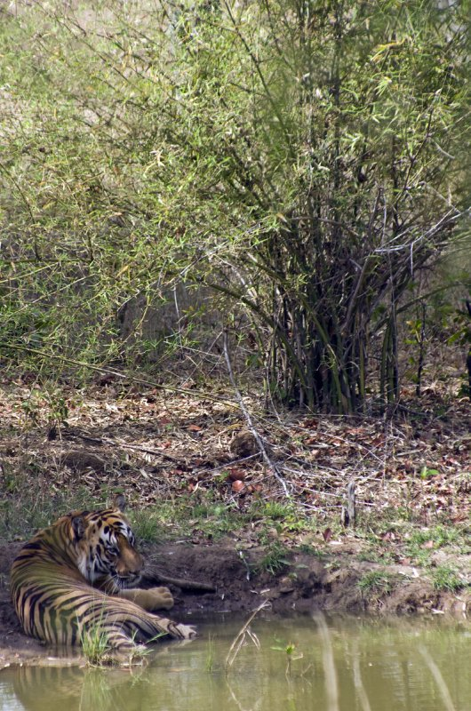 Large male in Tadoba