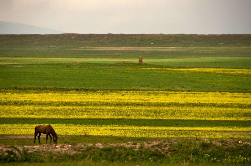 Mustard fields, horse and the odd ruin to add interest... fields in Kars