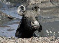 Mickey-Mouse-eared Buffalo enjoying the mud bath!