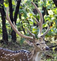 Chital chewing on an old antler.  They, and other animals, eat them for added mineral and calcium nutrients.
