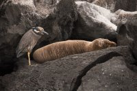Yellow Crowned Night Heron and Galapagos Sea Lion