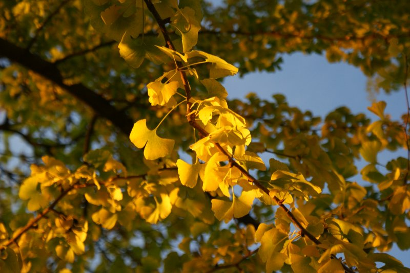 Gingko Tree at Sunset