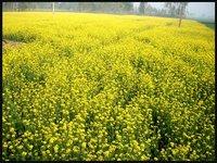 Musturd Field