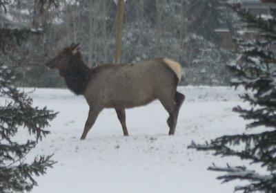 Elks2