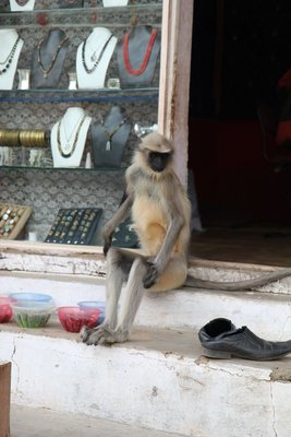 Cheeky monkey at a local shop in Hampi