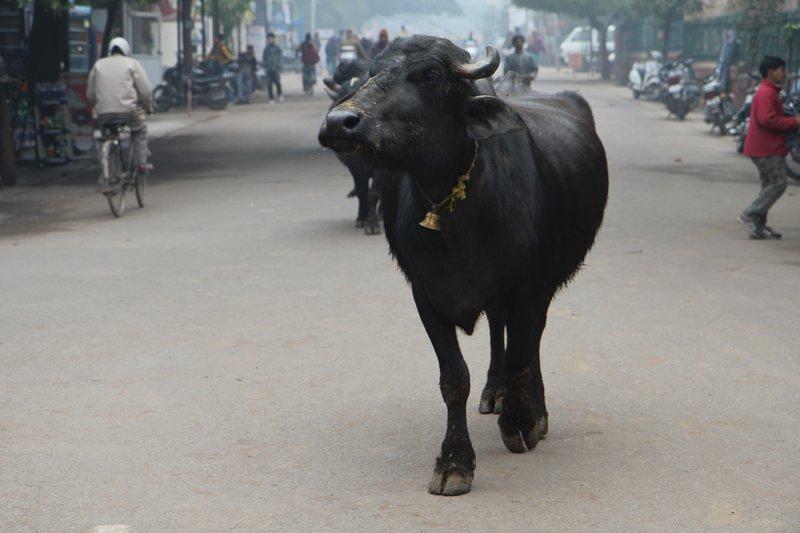 Cow roaming around outside the Taj Mahal